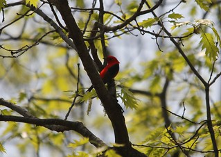 Scarlet Tanager | by Birding In New Jersey