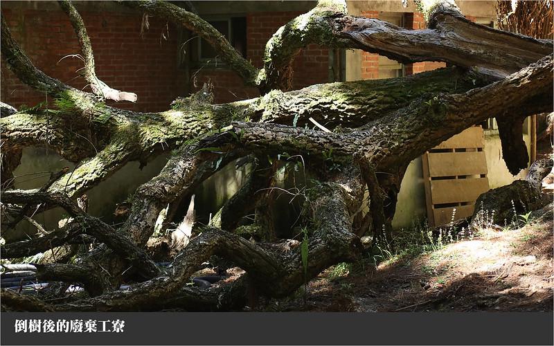 倒樹後的廢棄工寮