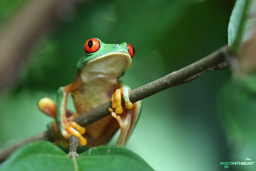 Red-eyed Tree Frog... Agalychnis callidryas | by brick911