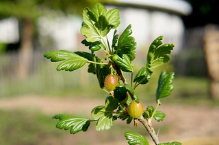 Gooseberry | by the.gray.scale