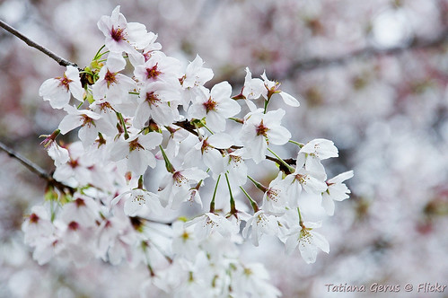 Somei Yoshino flowers close-up | by Tatters ✾