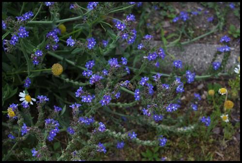 Anchusa arvensis (= Lycopsis arvensis) - buglosse des champs  28165520235_15d50f3414