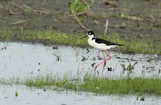Black-necked Stilt | by Jennifer + David