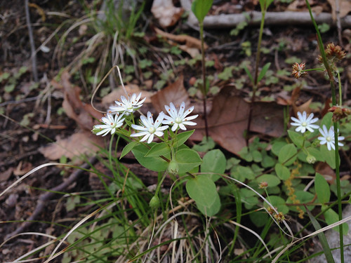 Stellaria pubera, Accotink, 4-23-15 | by FritzFlohrReynolds
