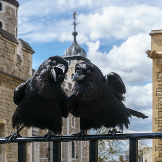 Jubilee and Munin, Ravens, Tower of London | by User:Colin
