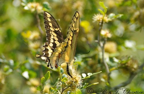 Papilio cresphontes (Giant Swallowtail)