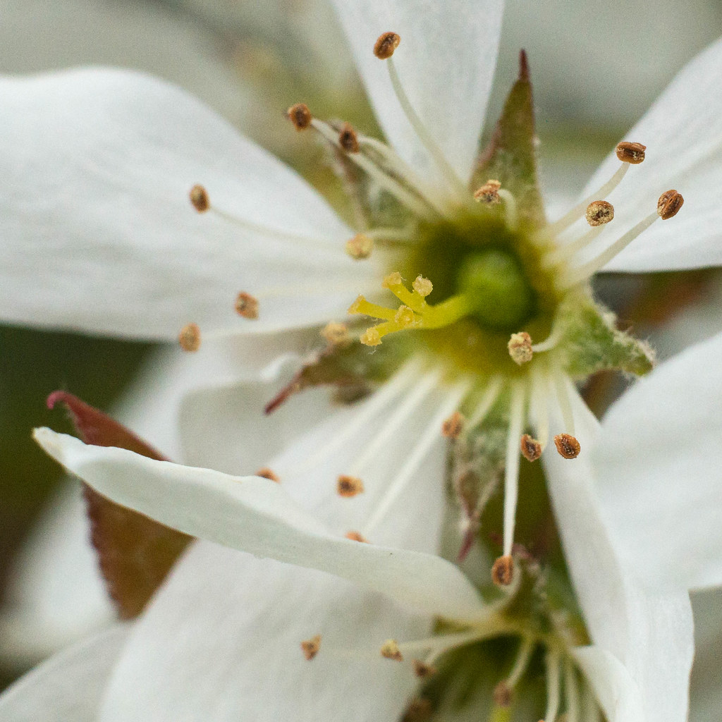 National Day Of Reconciliation ⁓ The Fastest Amelanchier