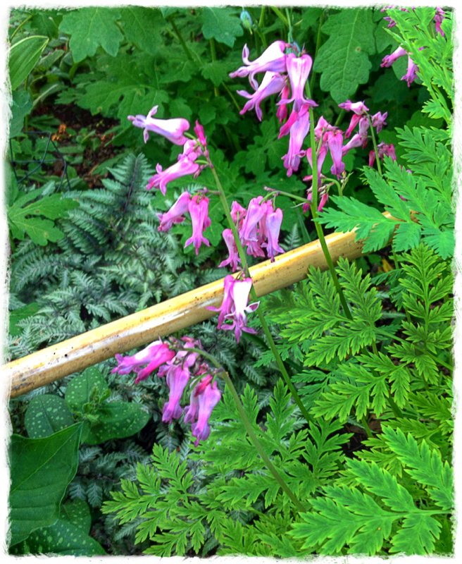 Native Bleeding Heart Dicentra Eximia Thriving In My Sha Flickr