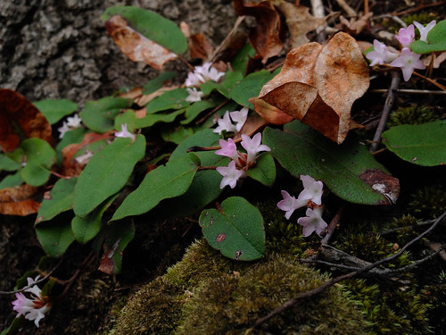 Epigaea repens 2, Accotink Gorge, 4-7-15 | by FritzFlohrReynolds