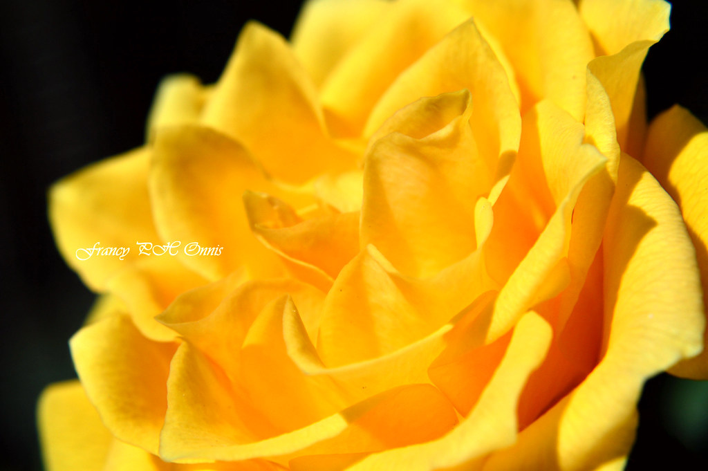 The Yellow Rose In Love Symbolizes Jealousy Francesca Onnis Flickr