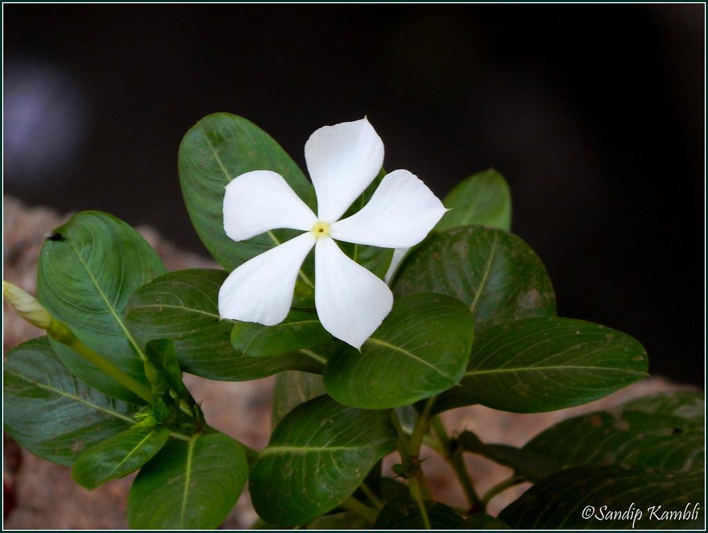 Vinca Flower In Marathi Sadafuli It Means Ever Blooming Sandip