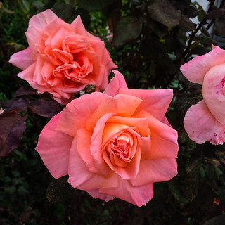 In the pink | by The Inadvertent Gardener