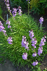 ERYSIMUM 'Ruston Royal'