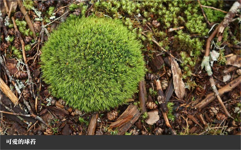 可愛的球苔