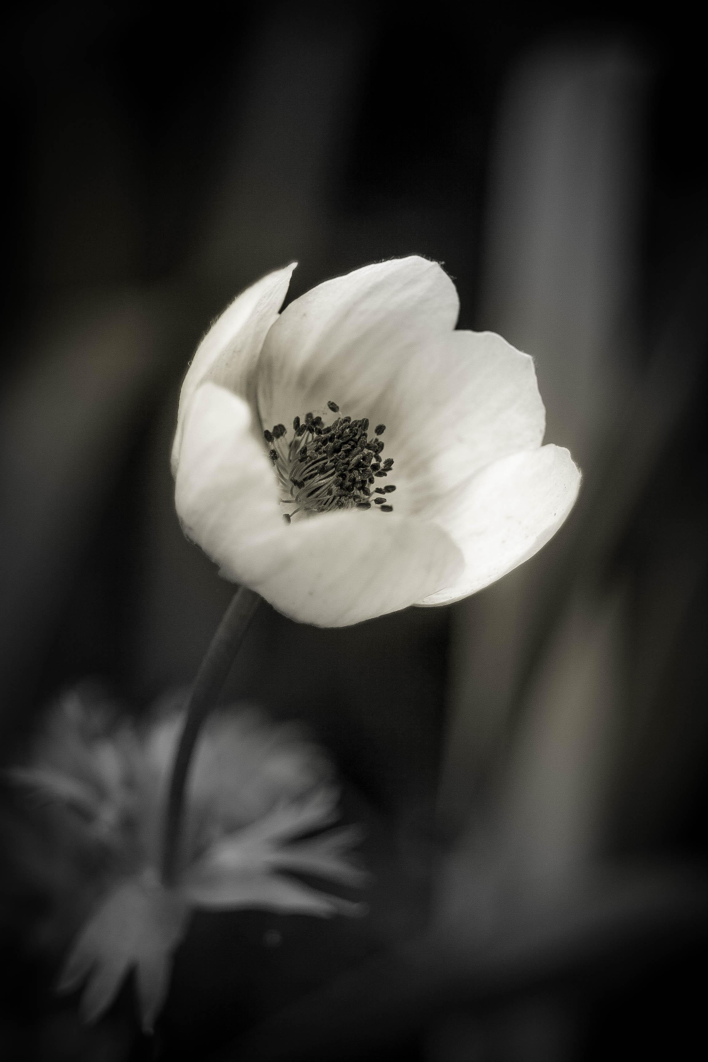 Black and White Anemone.
