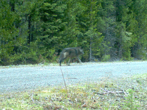 050314 2 black wolf odfw photo by the u s fish and for Oregon department of fish and wildlife jobs