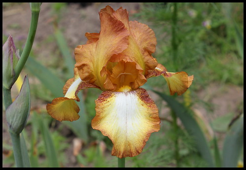 identifications d 'Iris 27583661795_bd0a10305d