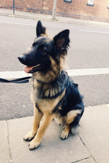 9-mo.-old GSD in the neighborhood
