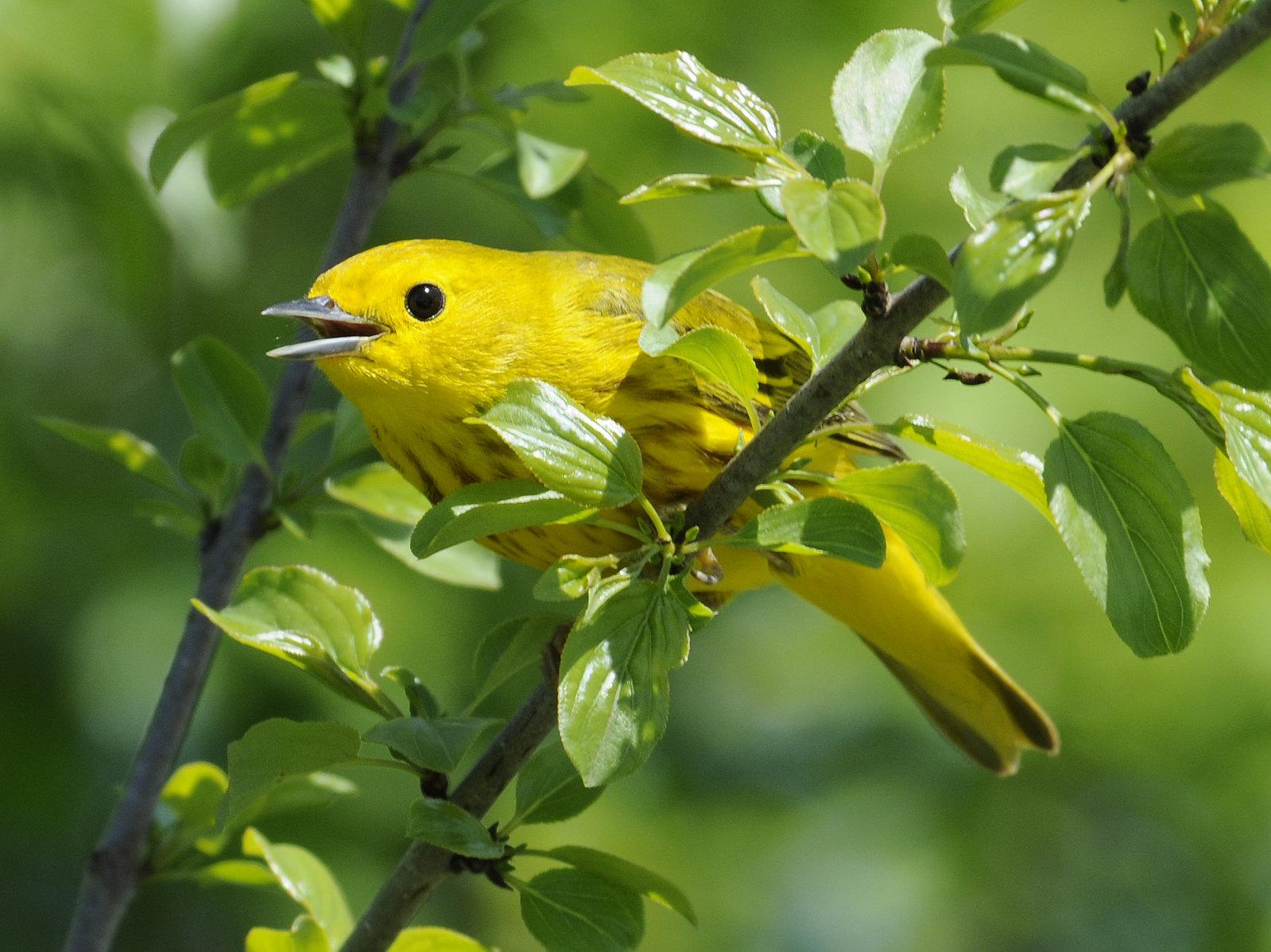 American Yellow Warbler - Setophaga petechia