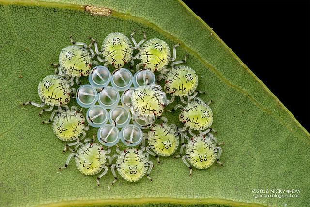 Chiots punaises de lit (Pentatomidae) - DSC_1982
