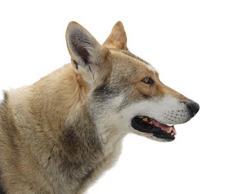 Swiss Alps Dog Rescue