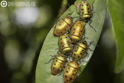 Metallic Jewel Bugs (Scutelleridae) gathering | by PF T.J.