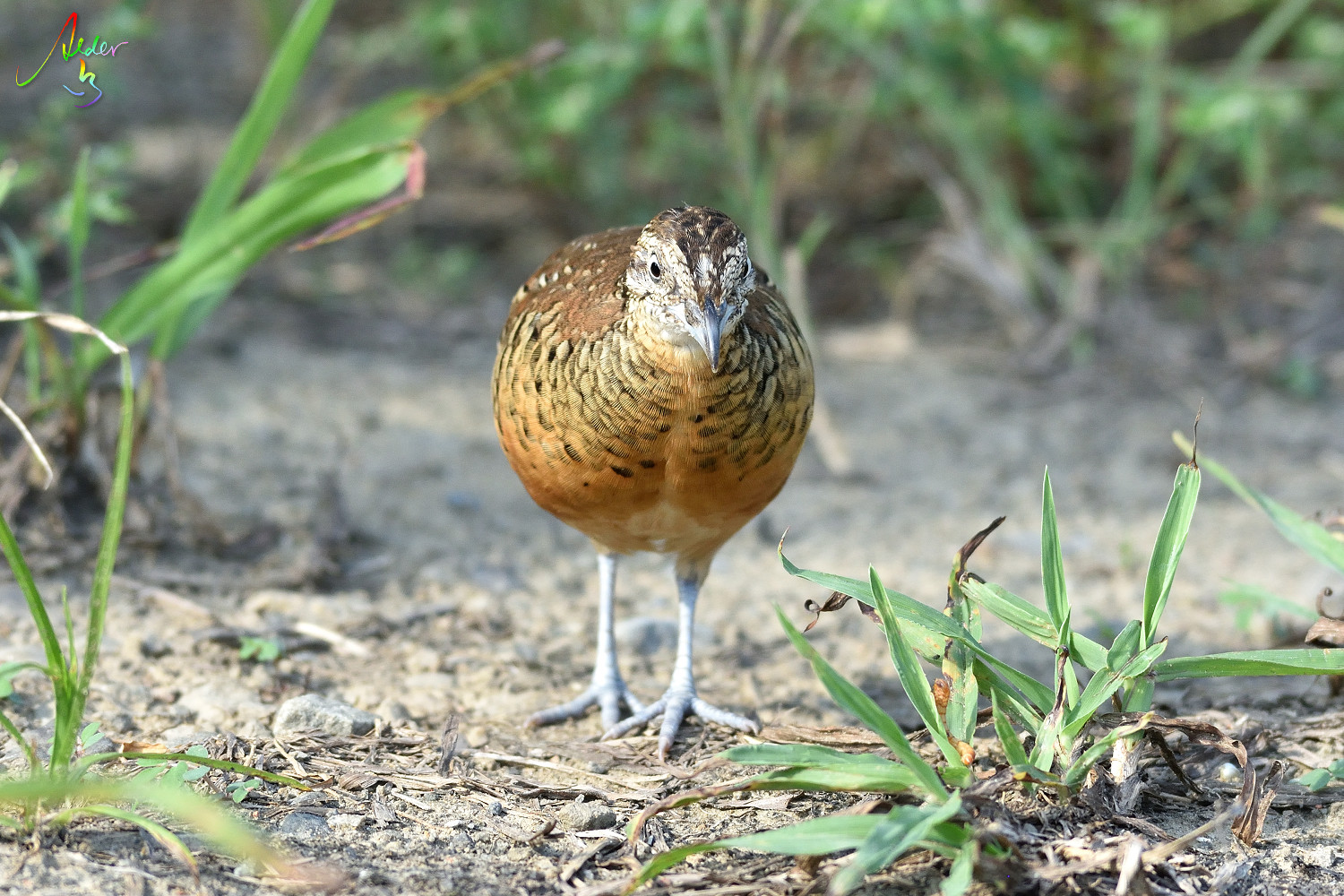 Barred_Butonquail_9694