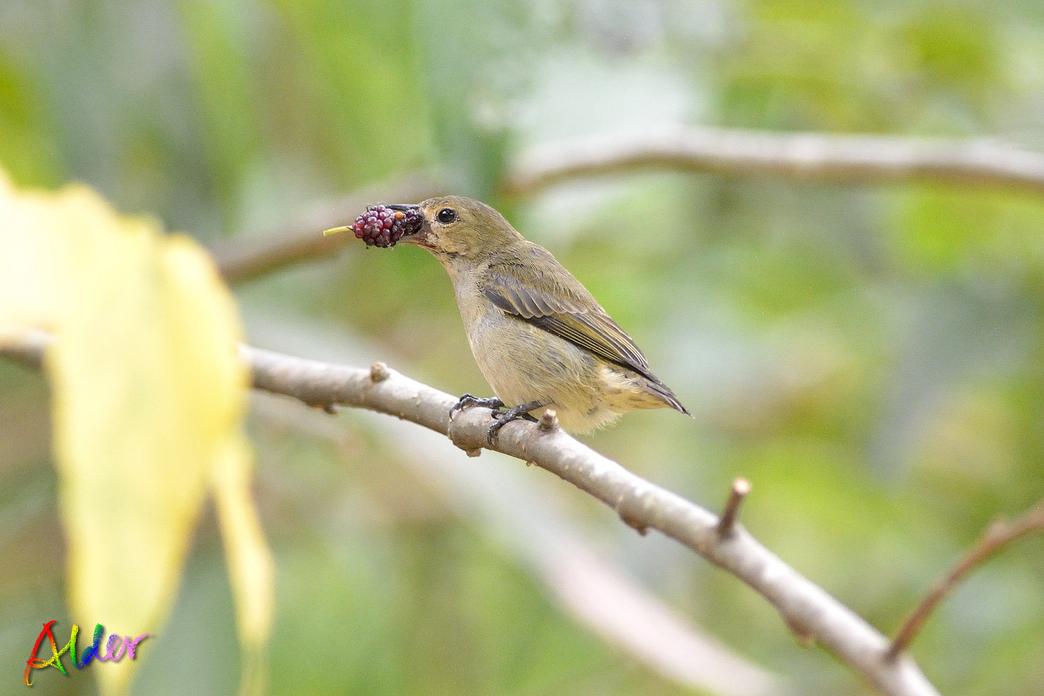 Plain_Flowerpecker_3413