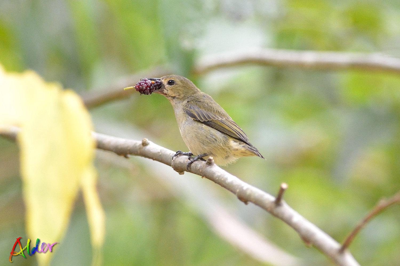 Plain_Flowerpecker_3413