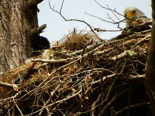 june 16 2016 15:19 - Dunlop Eaglet & adult | by boonibarb