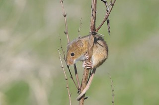 Harvest Mouse | by markhows