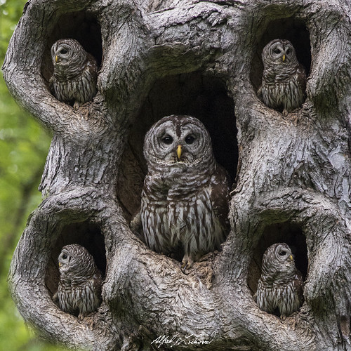 Surveying The Female Barred Owl Parent Makes An