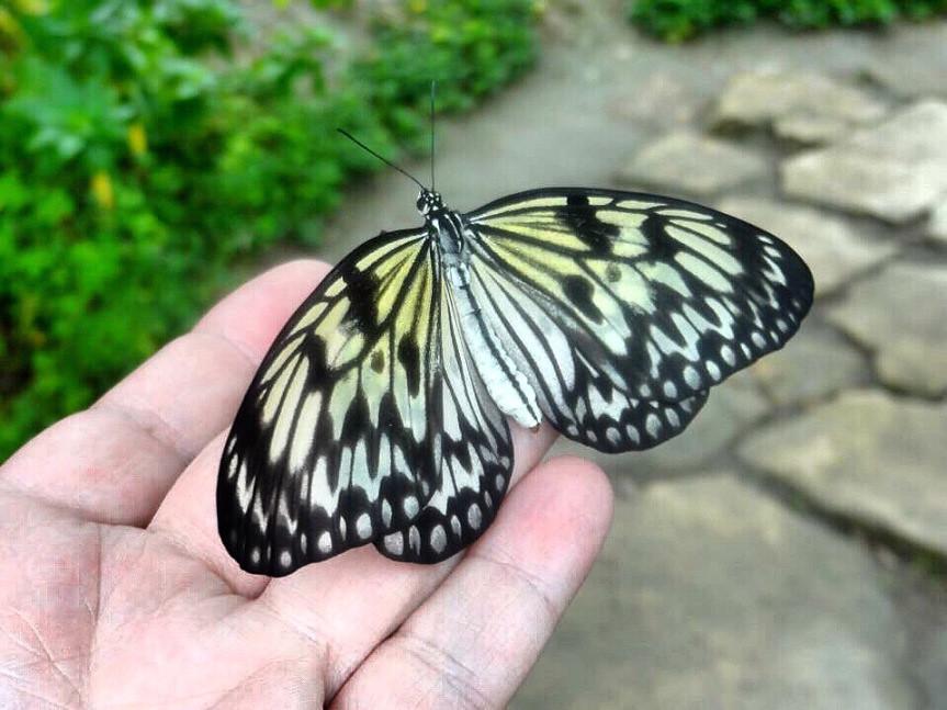 Bohol Butterfly