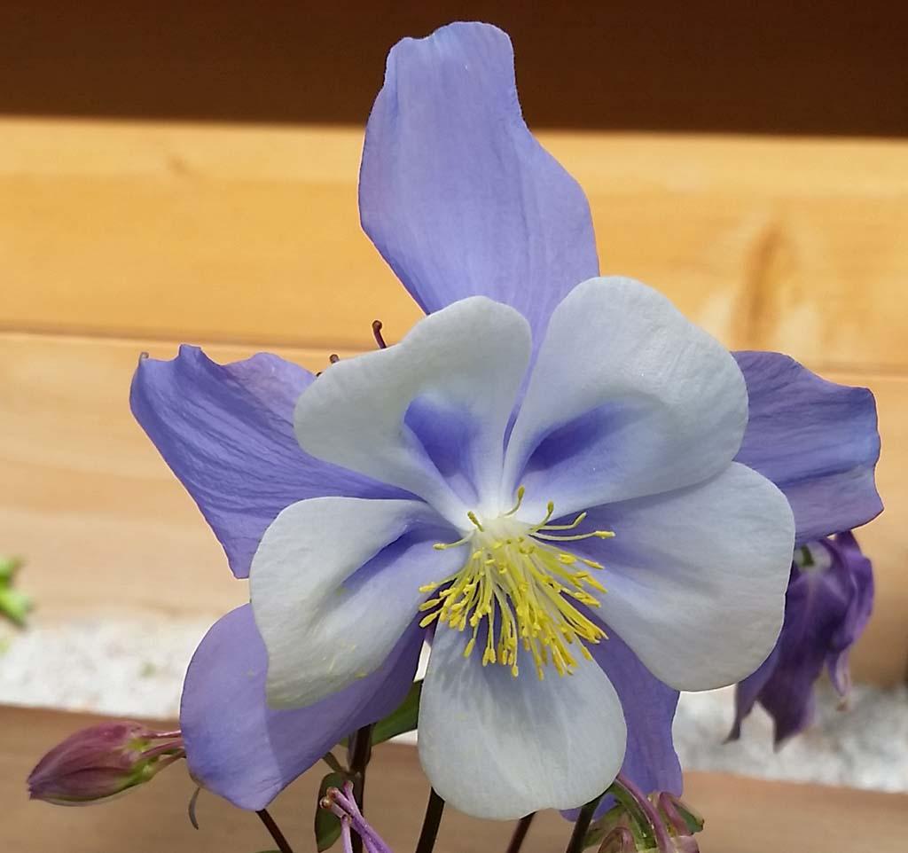 Columbine Flower West Vancouver Bc Canada Aquilegia C Flickr