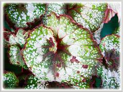 Closeup shot of Begonia 'Rex Escargot', 9 Dec. 2011