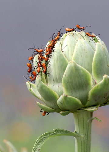 Leaf Footed Bug Nymphs on Artichoke | by margaretd