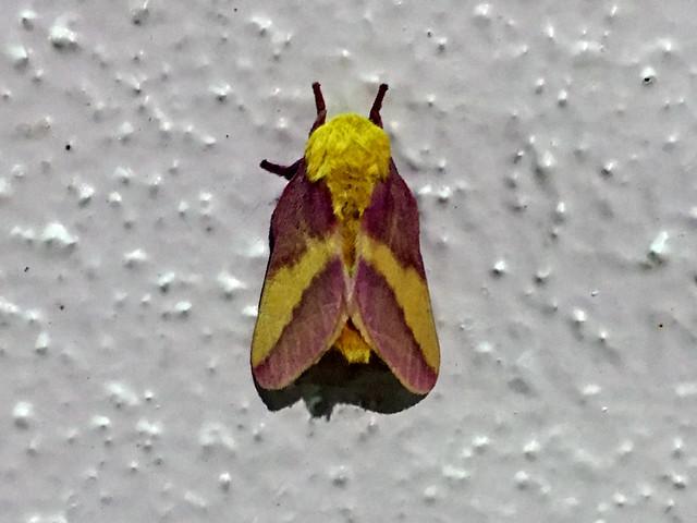 Rosy Maple Moth [Dryocampa rubicunda]