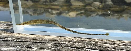 Northern Pipefish | 5/27/16, Tred Avon River, Oxford ...