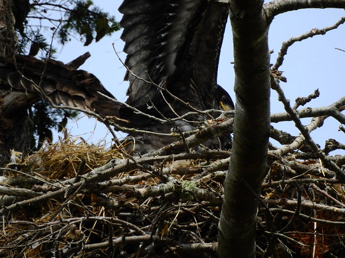 june 16 2016 15:51 - Dunlop Eaglet | by boonibarb