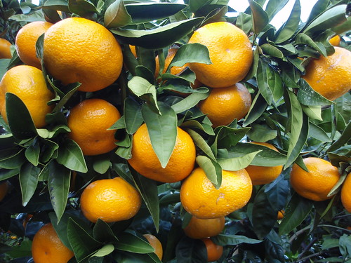 mandarin growing on tree | by Farm Fresh To You -