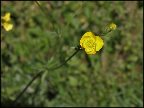 Renoncule bulbeuse (4)