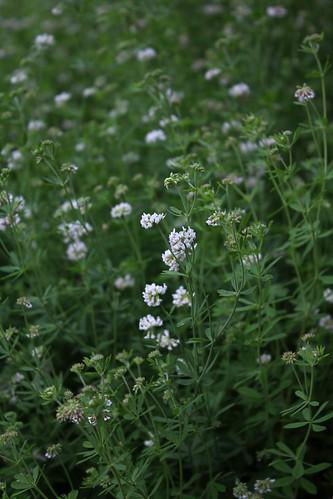 Dorycnium pentaphyllum (1)