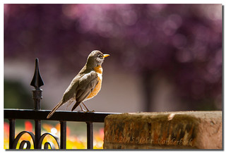 Little Robin Red Breast | by HelenV18
