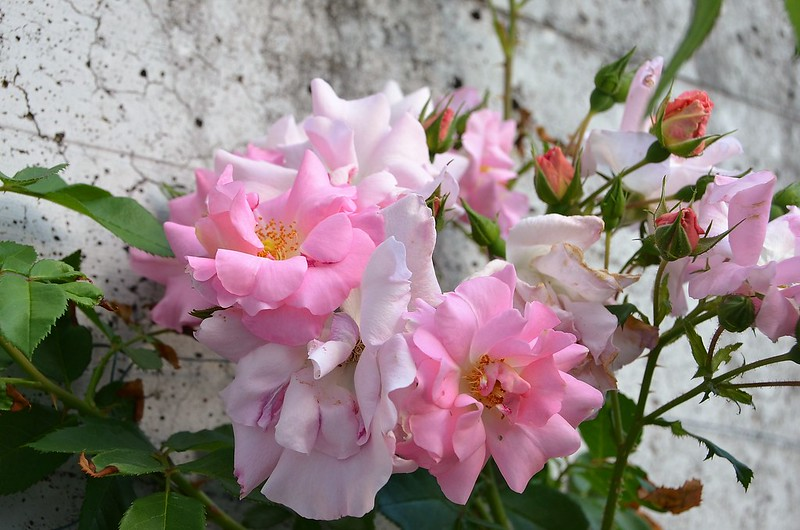 Roses 07.07 (4)