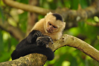 Capuchin Monkey Scratching Foot | by Amaury Laporte
