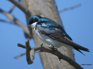 Tree Swallow, Banded | by Beth Fishkind