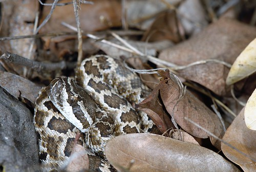 Crotalus oreganus helleri | by JeremyFWright