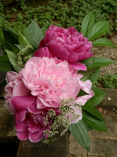 kelways and sarah peonies