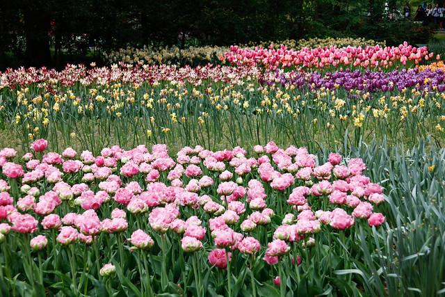 tulips, tulpen