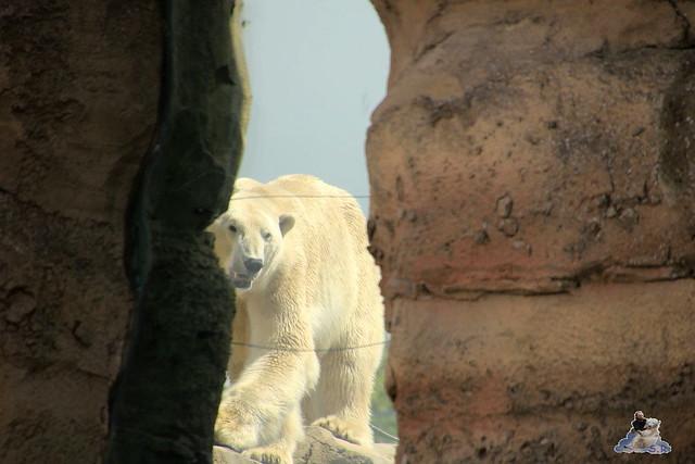 Eisbär Lili im Zoo am Meer 15.05.2016  124